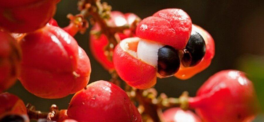 Для чего принимается гуарана, ее свойства и эффекты