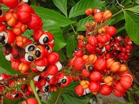 растение гуарана