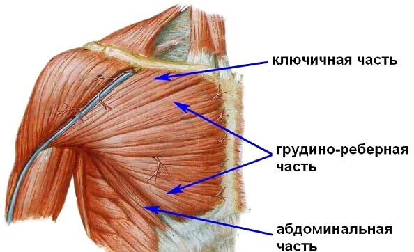 части мышцы
