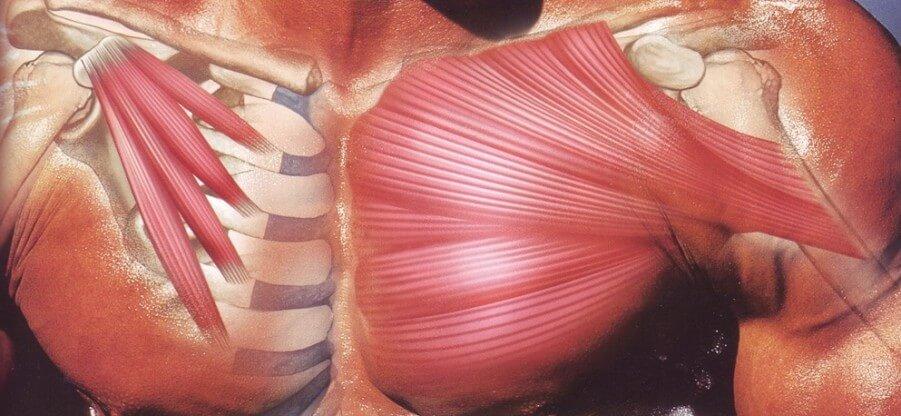 Строение и анатомические особенности грудных мышц человека