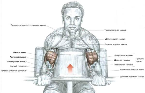 анатомия мышцы