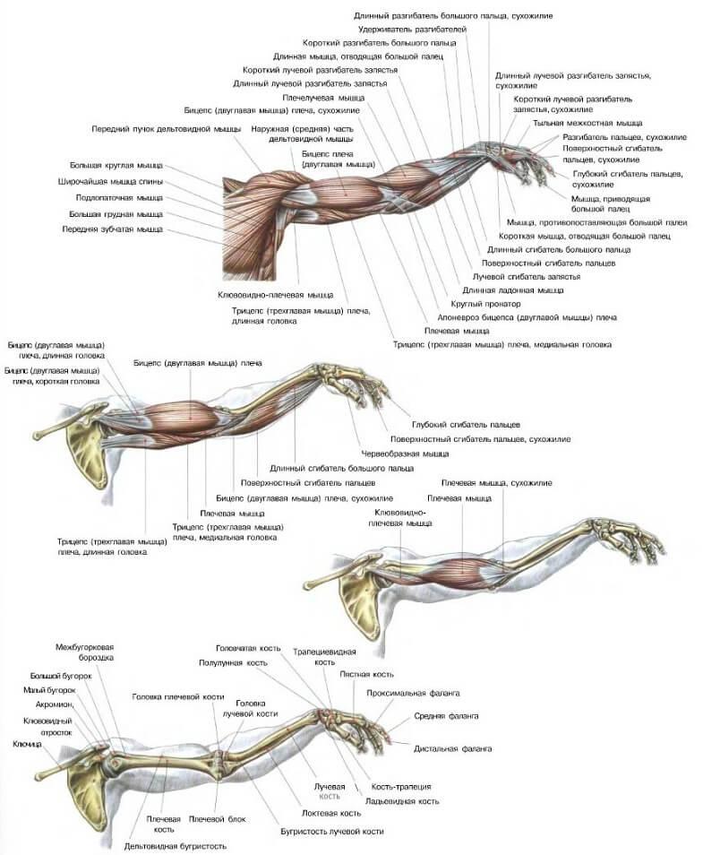 подробная анатомия