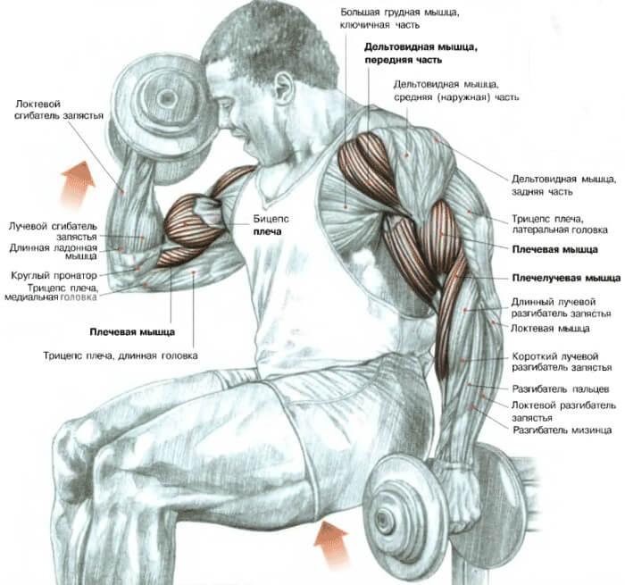 двуглавая мышцы плеча