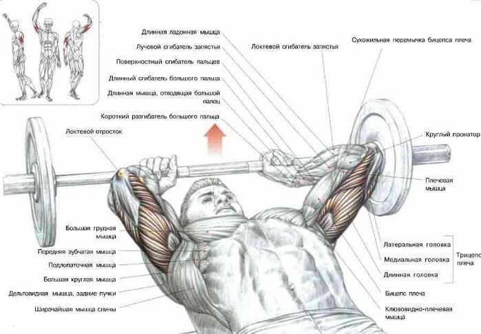 трехглавая мышцы плеча