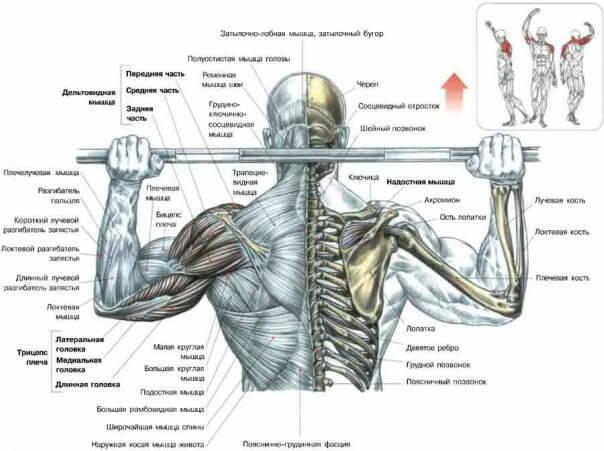 анатомия дельт
